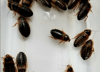 dubai roaches